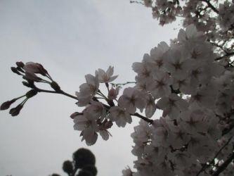 不穏な空・・・。少しでも長く咲いていればよいのですが・・・