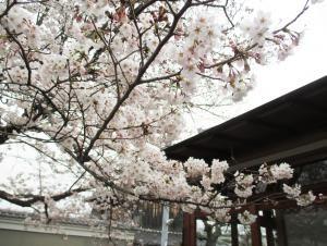 涓泉亭の桜も見頃を迎えています