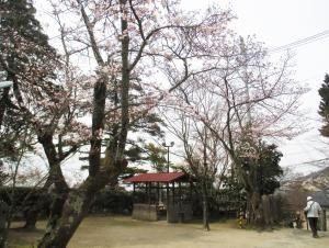 ちらほら咲いている西江寺の桜。